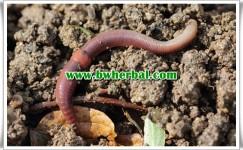 Manfaat Cacing Tanah Untuk Obat Tipes Dan Cara Pengolahannya