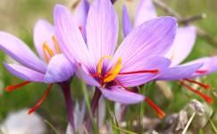 Manfaat saffron Untuk Kesehatan Dan Cara Konsumsinya Yang Benar