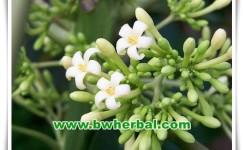 3 Manfaat Bunga Pepaya Dan Cara Mengolahnya Yang Baik Bagi Kesehatan