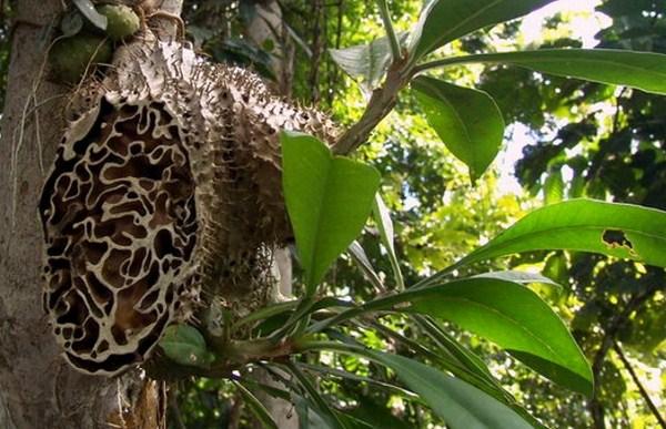 20 Manfaat Sarang Semut Papua Untuk Kesehatan Tubuh Menyeluruh