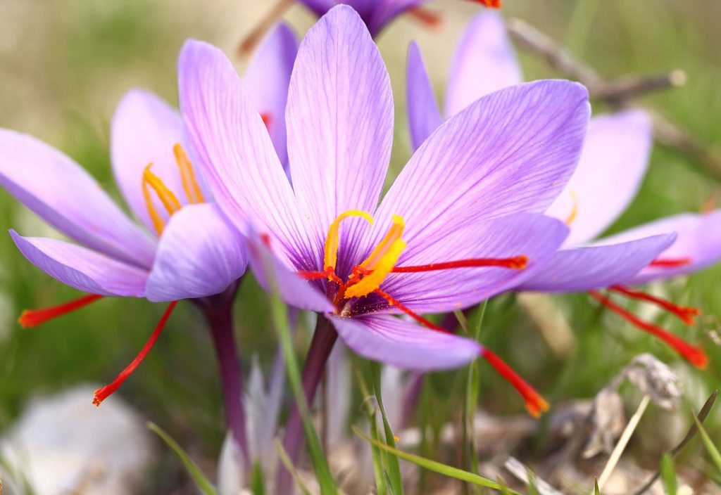 manfaat bunga saffron