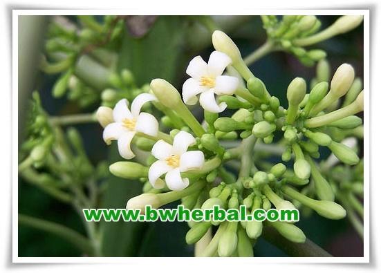 manfaat bunga pepaya